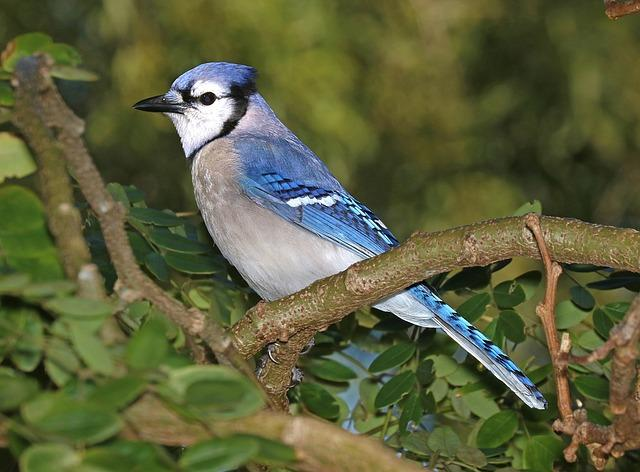 bluejay in tree