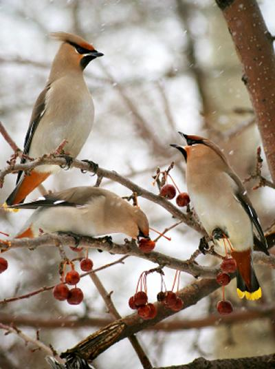 3 cedar waxwings in tree eating crab apples